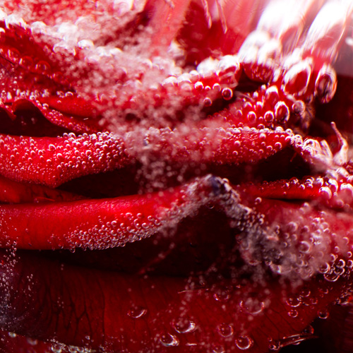 Frozen Roses by BRIG